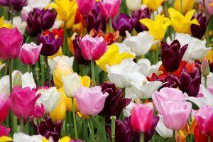 tulips-1405406_640
